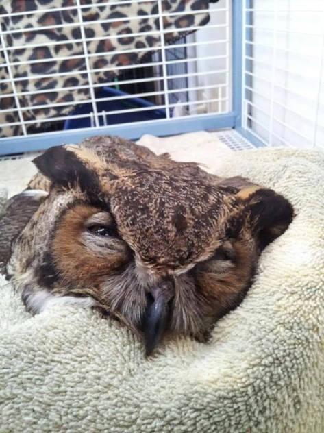 OBWU Owl